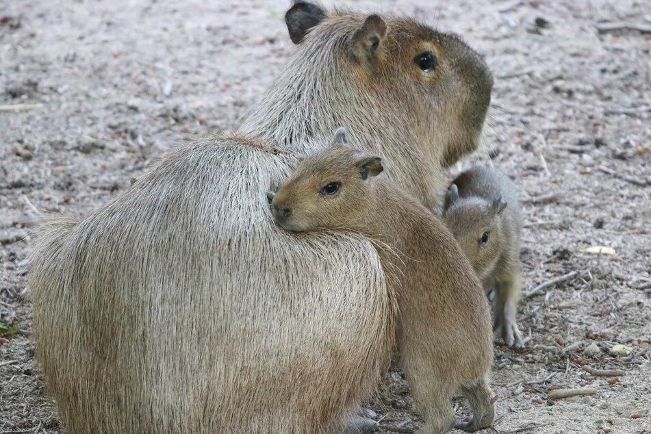 Wie alle Babys kuscheln auch die kleinen Wasserschweine gern mit ihrer Mama.
