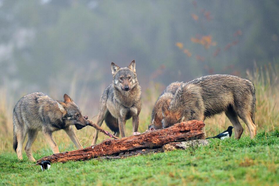 W Polsce wilki są pod ścisłą ochroną.