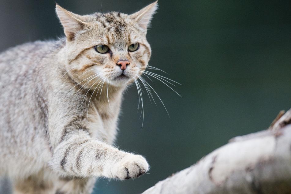 In den Jahren 2006 und 2007 wurde die Wildkatze erstmals wieder in Baden-Württemberg nachgewiesen. (Symbolbild)