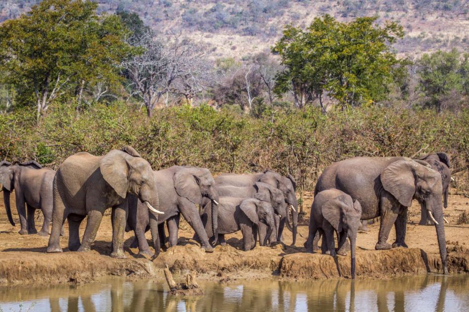 Elefanten Sterben