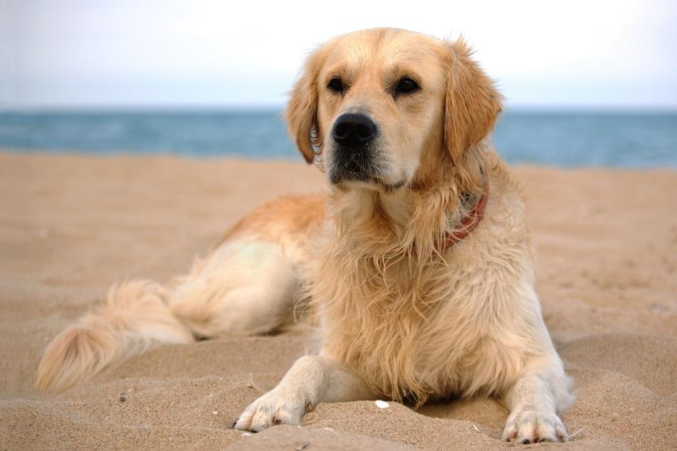 Der Hundesitter hatte das Tier nicht angeleint. Dann jagte der Hund einem Reh nach und gilt seitdem als verschollen. (Symbolbild)