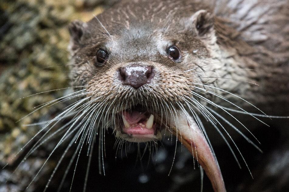 Ein Fischotter genehmigt sich einen Snack. Für Fischer sind die Tiere mittlerweile ein Dorn im Auge.