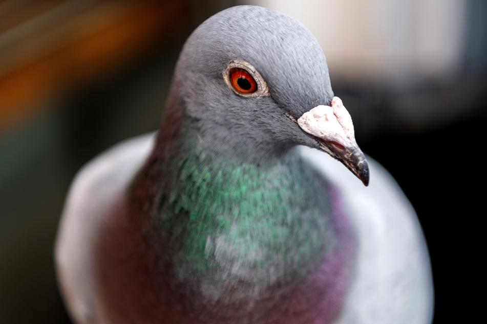 Eine Brieftaube. 37 solcher Tiere werden in einem Taubenschlag in Parsit, einem Ortsteil der Gemeinde Ense, vermisst.