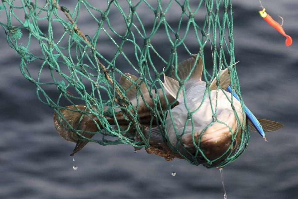 Verhandlungen über Fischfangmengen in der Ostsee gestartet