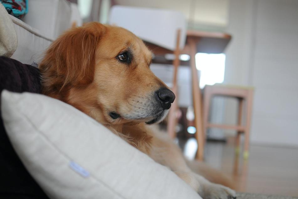 Wenn erwachsene Hunde nicht stubenrein sind, können körperliche oder psychische Probleme die Ursache sein.