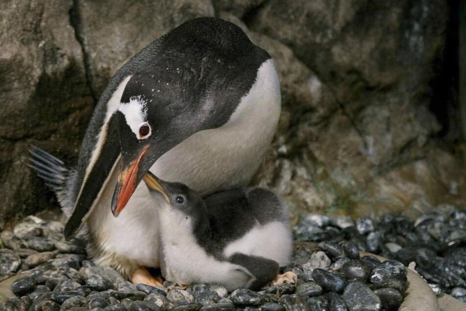 Famous same-sex penguin couple are dads for the second time!