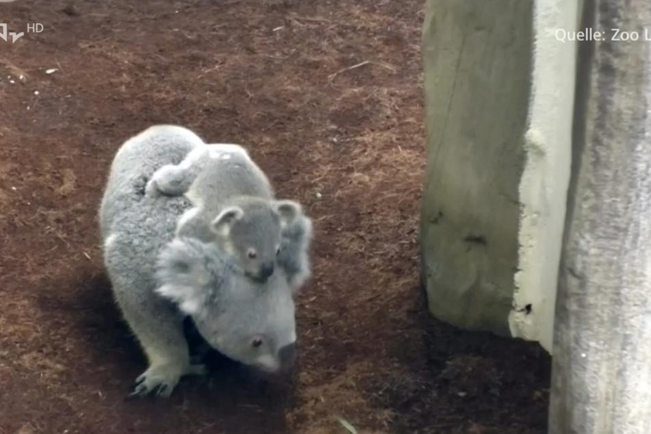 Koala-Mama Mandie mit ihrem Nachwuchs auf Entdeckungsreise. Für die beiden stand in den letzten Tagen ein kleiner Umzug an.