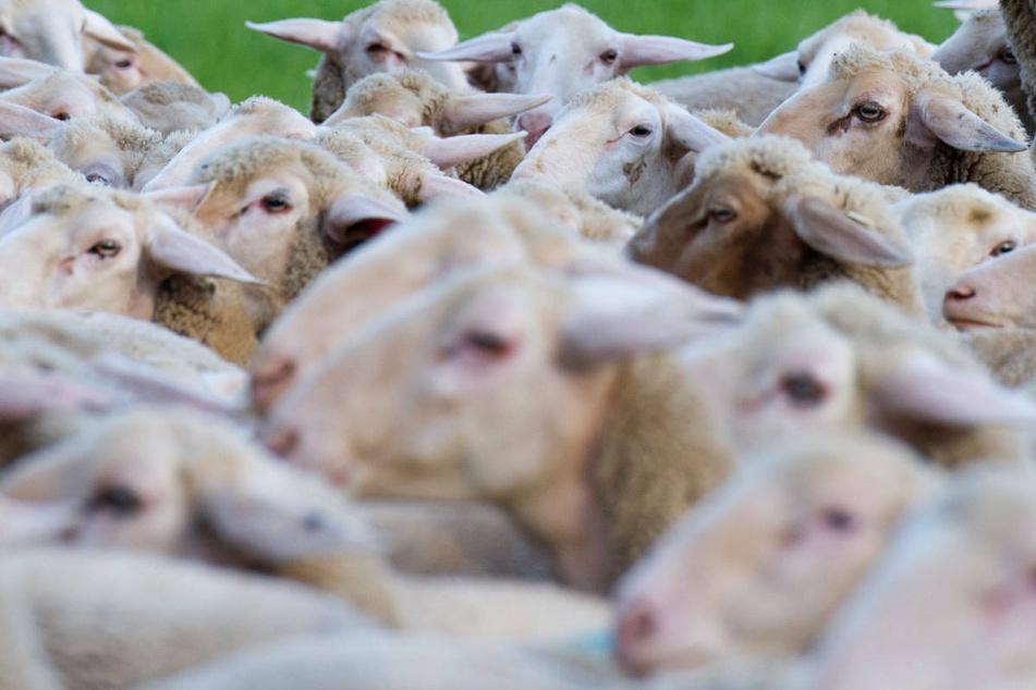 Schafe haben die Tierkrankheit auf die Labormitarbeiter übertragen.