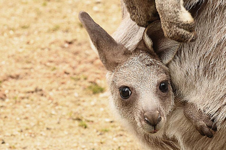 Süß! Hier schaut ein kleines Känguru-Jungtier mit seinem Kopf aus dem Beutel.