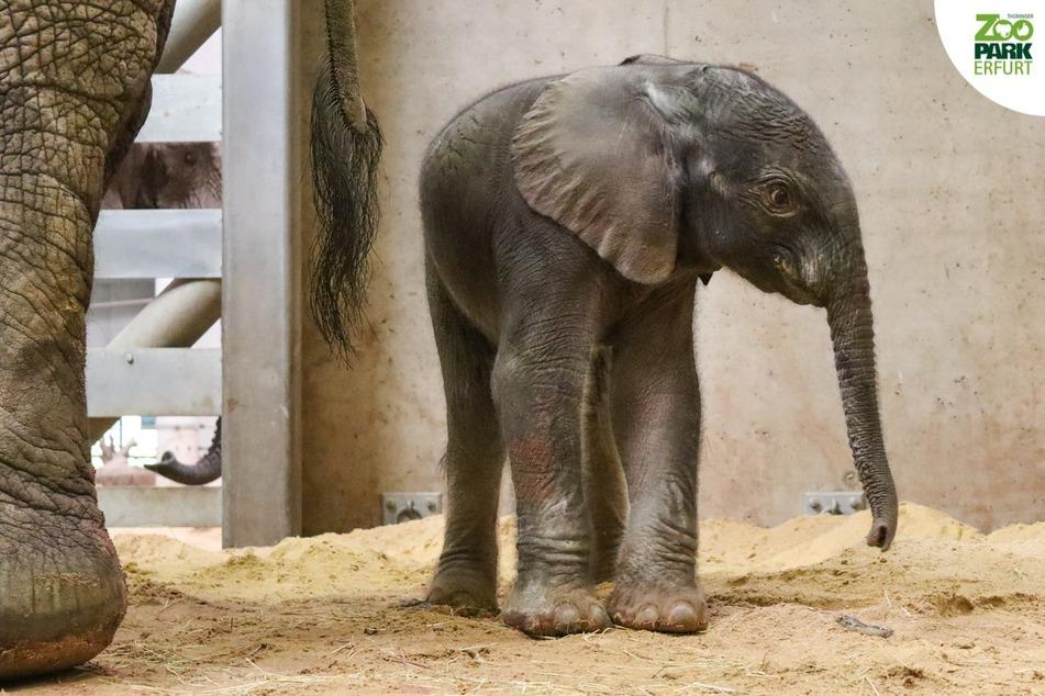 Der erste im Zoopark geborene Elefantenbaby.