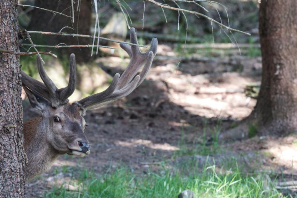 Ein Hirsch blickt im Wildpark Mehlmeisel hinter einem Baum hervor.