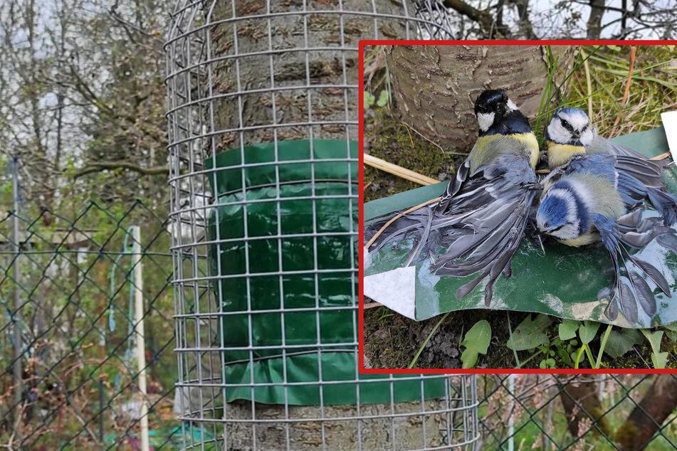 Tödliche Falle: So gefährlich sind Leimringe an Bäumen für Vögel