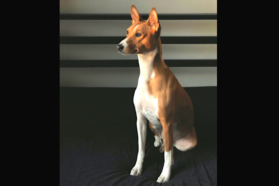 Basenjis are proud dogs that communicate very similar to wolves.