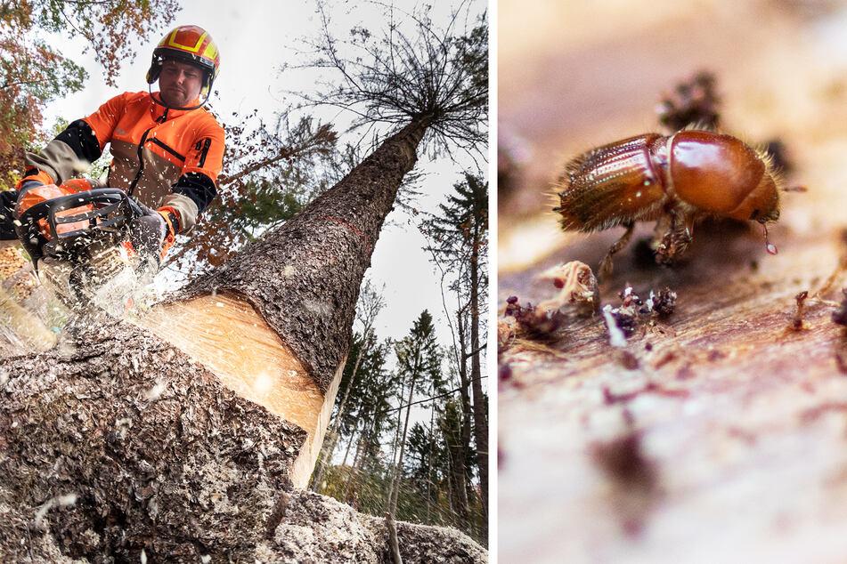Forstarbeiter Mirko Enzmann (44) fällt eine Fichte im Zeisigwald. Die Buchdrucker-Borkenkäfer befallen vor allem Fichten.