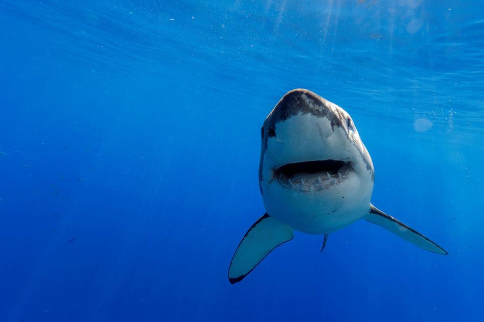 Viele Haiarten sind bereits vom Aussterben bedroht. (Symbolbild)