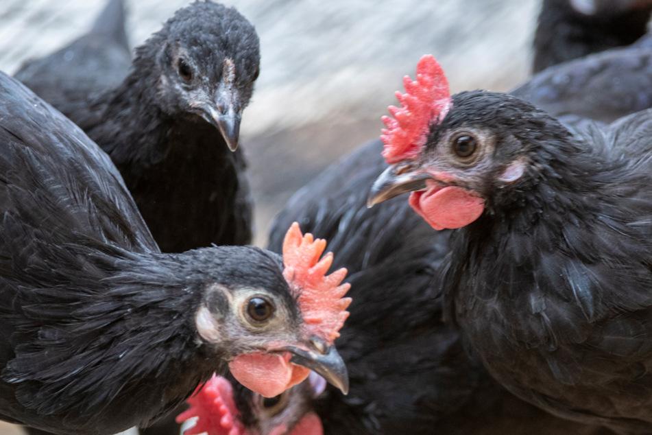 """Einzige bayerische Hühnerrasse """"extrem gefährdet"""": Zoo will Aussterben stoppen"""