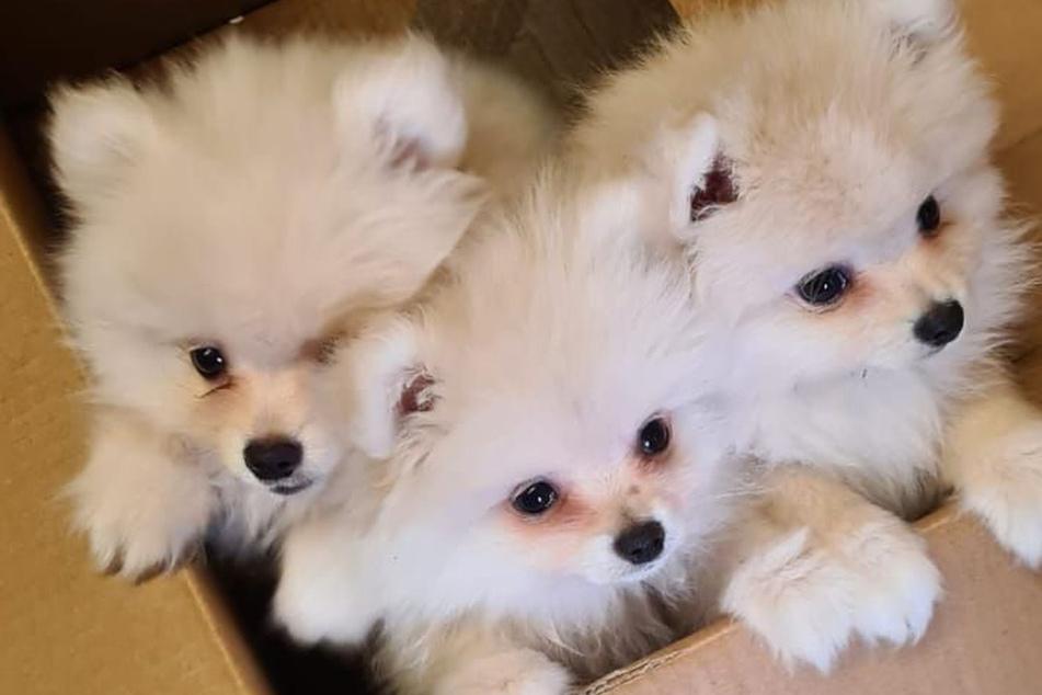 Welpenschmuggel! Kriminelle stopfen diese drei winzige Hunde in Kiste