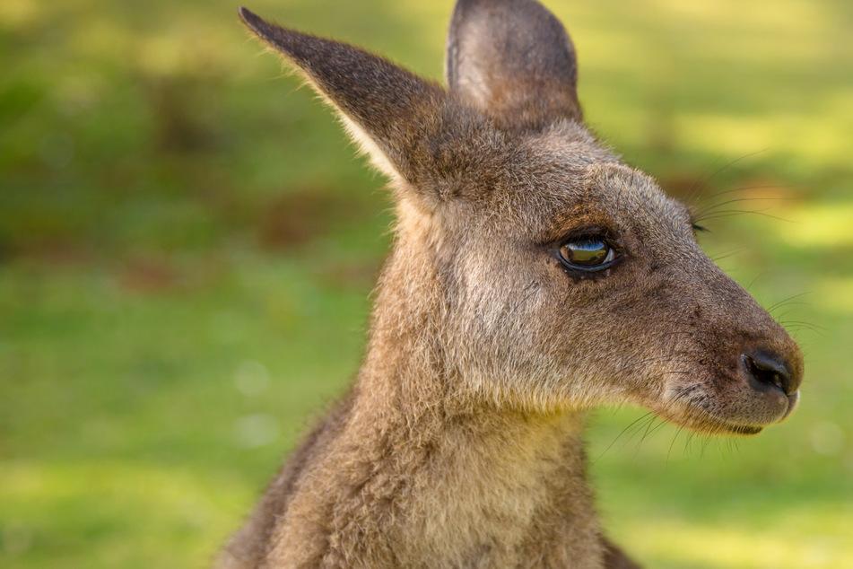 Känguru in Niederbayern! Wilder Exot stellt Polizei vor Rätsel
