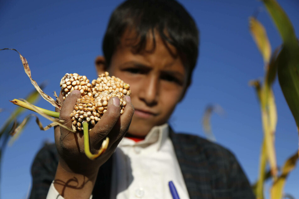 A boy holds a bunch of sorghum in his hands during harvest time in the province of Amran.