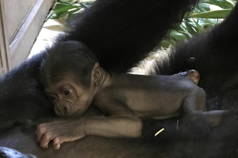 Im Rostocker Zoo ist das dritte Gorilla-Baby in diesem Jahr geboren worden.
