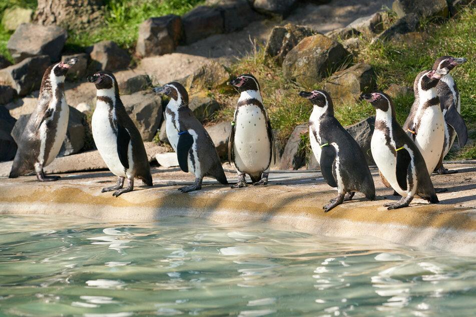 Die Pinguine im Neuwieder Zoo dürfen sich seit Montag wieder auf Besucher freuen.