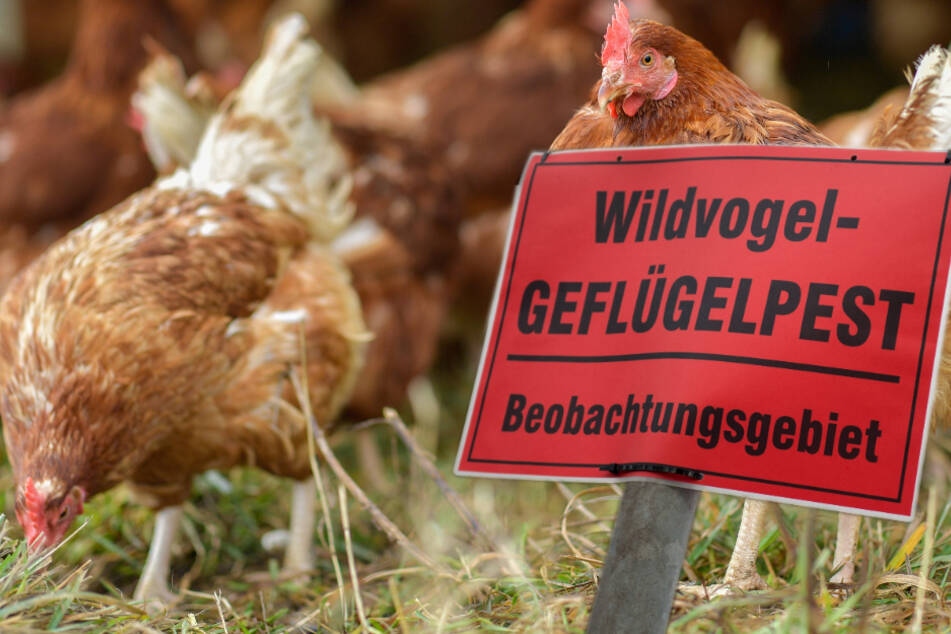 Geflügelpest breitet sich weiter aus: Alle Tiere müssen in Ställe!