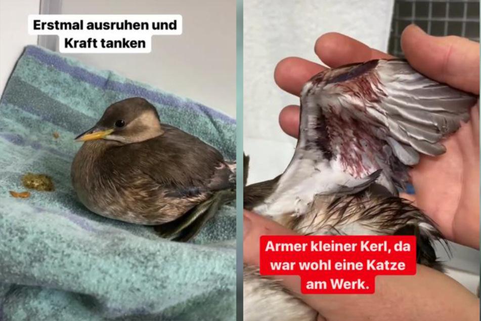 Der kleine Zwergtaucher ist wahrscheinlich von einer Katze angegriffen worden. Im Tierheim Köln-Dellbrück kann er sich nun von dem Schock erholen.