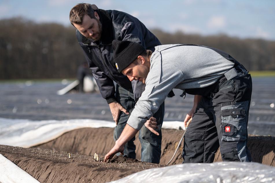 Landwirt Marco Kettelaers (l) erklärt dem Studenten Hendrik Weyenberg wie man Spargel sticht.