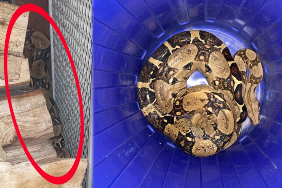 Die Schlange hatte sich hinter einem Holzstapel versteckt. Das Reptil wurde mit einem Eimer eingefangen.