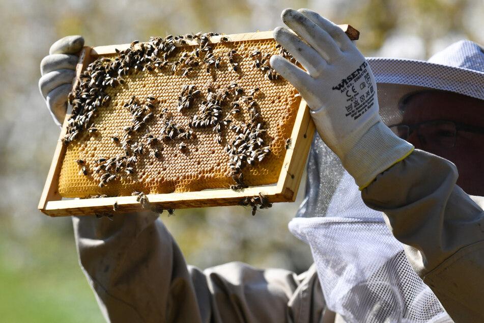 Ein Imker kontrolliert seine Bienenwaben. (Symbolbild)