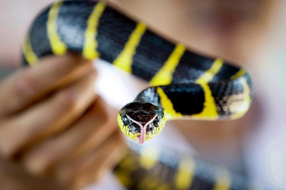 Die Haltung von Schlangen, deren Giftwirkung nach einem Biss lebensbedrohlich oder stark gesundheitsschädlich sein kann, ist in NRW nur noch in Ausnahmefällen zulässig.