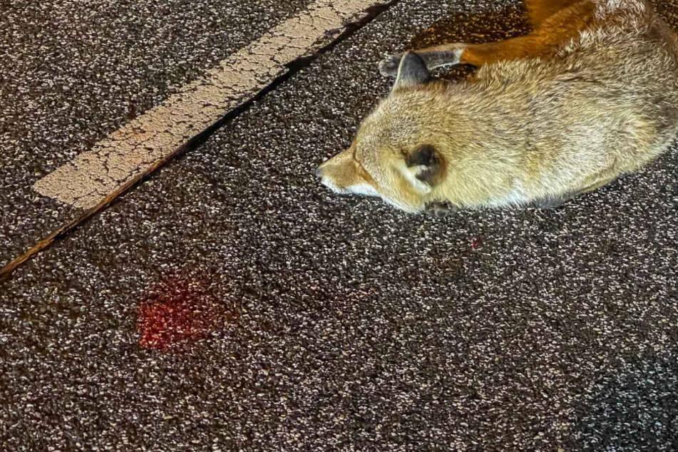 Autofahrer findet verletzten Fuchs, danach ist er geschockt, was mit dem Tier passiert