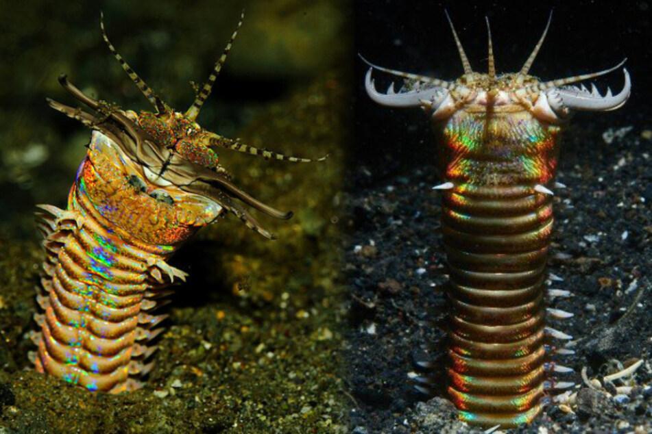 Er lauerte im Meeresboden seiner Beute auf: Forscher machen gruselige Entdeckung!