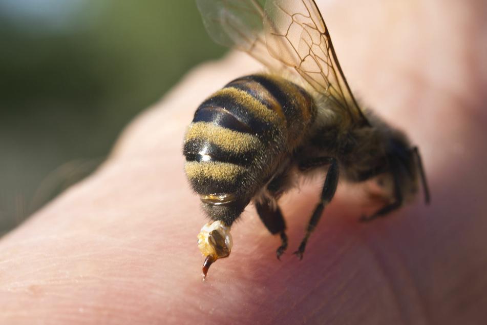 Der Bienenstachel ist mit einer Giftblase verbunden, die ebenfalls vorsichtig entfernt werden muss