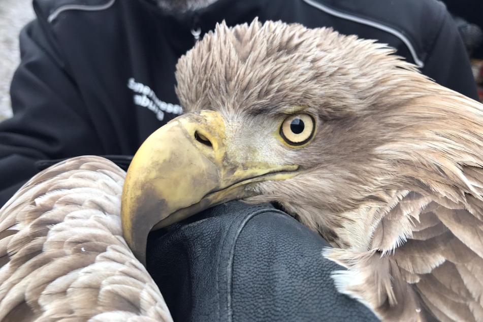 Dem Seeadler wurde vermutlich durch ein Windrad schwer verletzt.