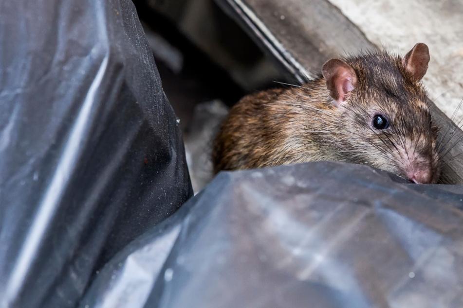 Nervige Nagetiere: Diese Stadt leidet unter einer massiven Rattenplage