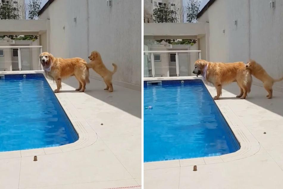 Netter Versuch, aber das war wohl nichts: Der kleine Matteo versucht verzweifelt, die große Hundedame Lulu in das Wasser zu schubsen.