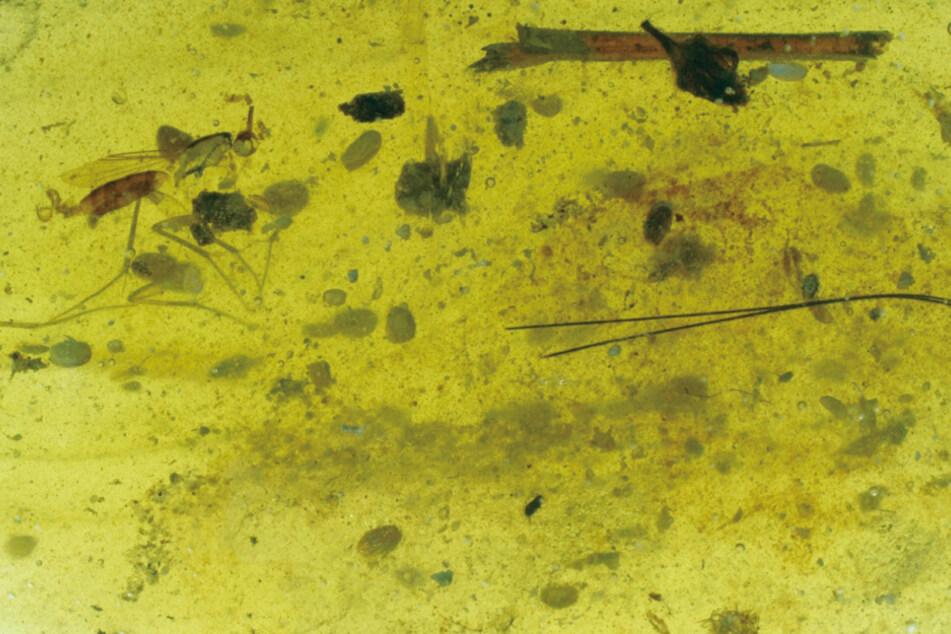 In diesem Stück Bernstein wurden das Tier und das Riesenspermium entdeckt.
