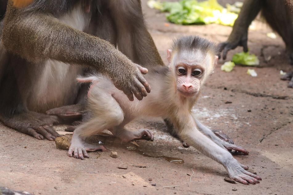 Eines der jüngsten Nachwuchskinder: Der kleine Mandrill-Junge Dajan wurde am 16. Mai im Dresdner Zoo geboren.