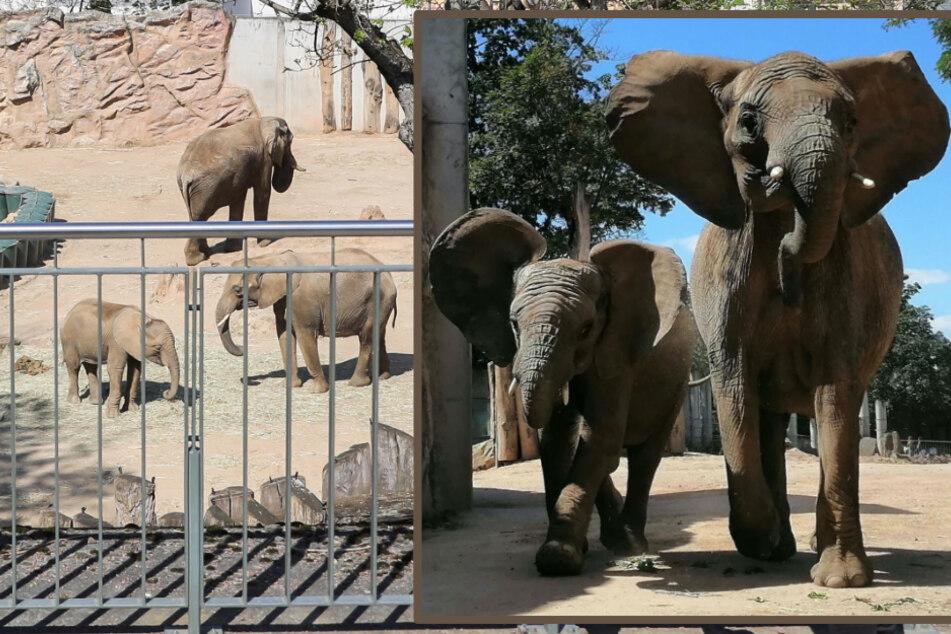 Panya (rechts) und ihr Sohn Ayo haben Halle verlassen und werden bereits sehnsüchtig im Serengeti-Park erwartet.
