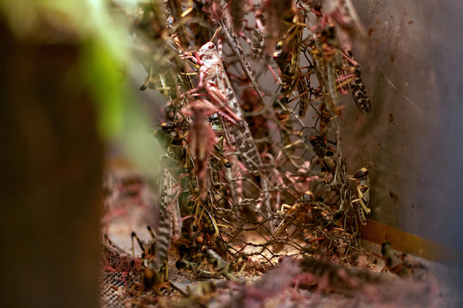 Locusts breeding in a cage.