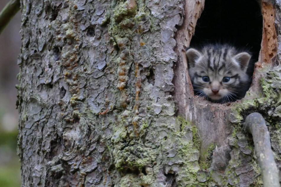 Das Kätzchen steckte in der Baumhöhle fest und wurde von den Naturschützern befreit.