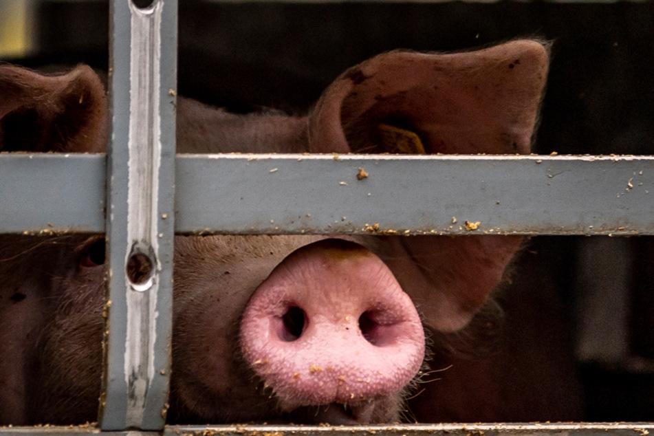 Großschlachtbetriebe sorgen oft für unnötigen Stress für die Tiere. (Symbolbild)