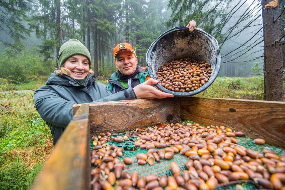 Erzgebirge: Forstamt zahlt für gesammelte Eicheln