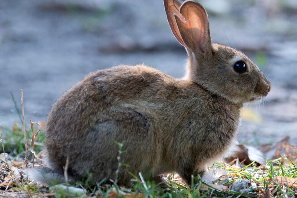 Beim Thema Kaninchen stoßen in Ingolstadt Fronten aufeinander. (Symbolbild)