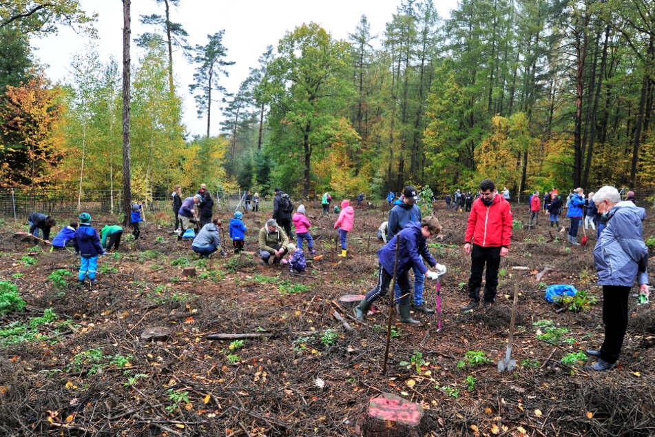Neue Nadeln braucht der geschundene Wald: Auch junge Tannen wurden gestern am Rochlitzer Berg gesetzt.