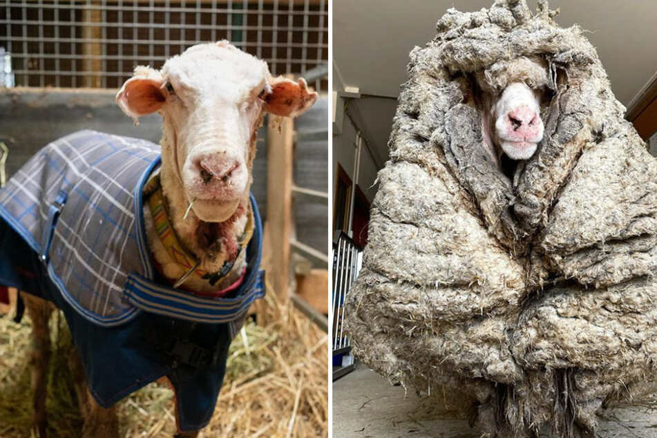 """Shear madness! """"Baarack"""" the sheep rescued from woolly nightmare"""