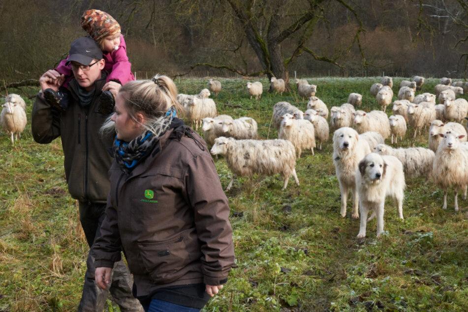 Schäferin Heike Dahm-Rulf, ihr Ehemann Matthias und Tochter Sarah gehen über eine Schafweide, die von Herdenschutzhunden bewacht wird.