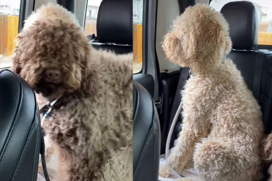 Diese zwei Goldendoodles waren vor ihrem Besuch beim Hundefriseur regelrechte Wollknäuel.