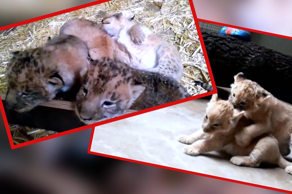 Zwischen Hoffnung und Sorge: Wie steht es wirklich um die Leipziger Löwen-Babys?